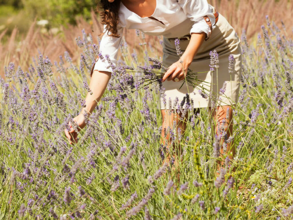 A young woman stands in a lavender field on Mallorca and plucks lavender - she already holds several plants in one hand.